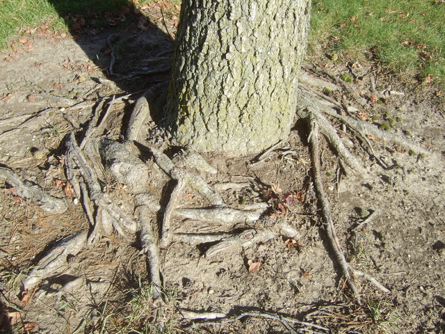 Girdling Roots on Red Maples