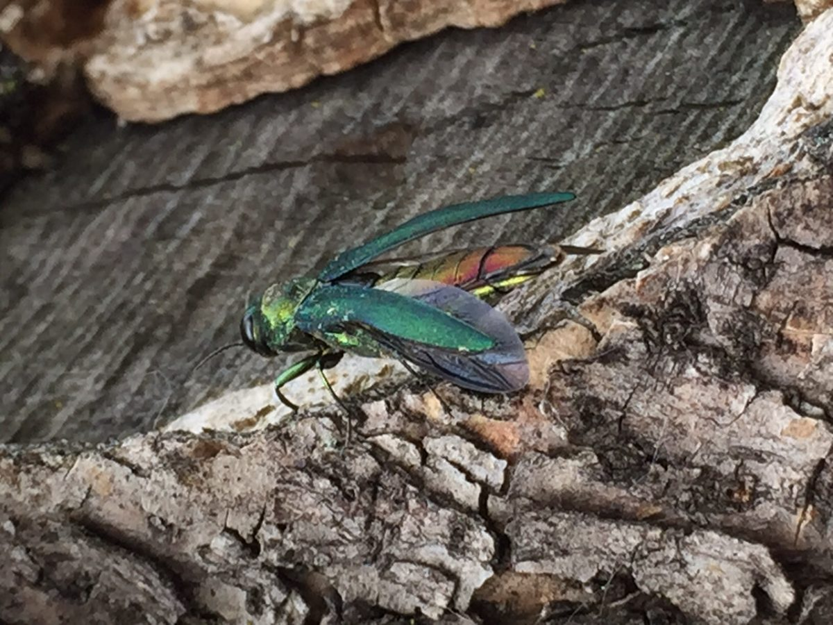 The Evolution of the Emerald Ash Borer