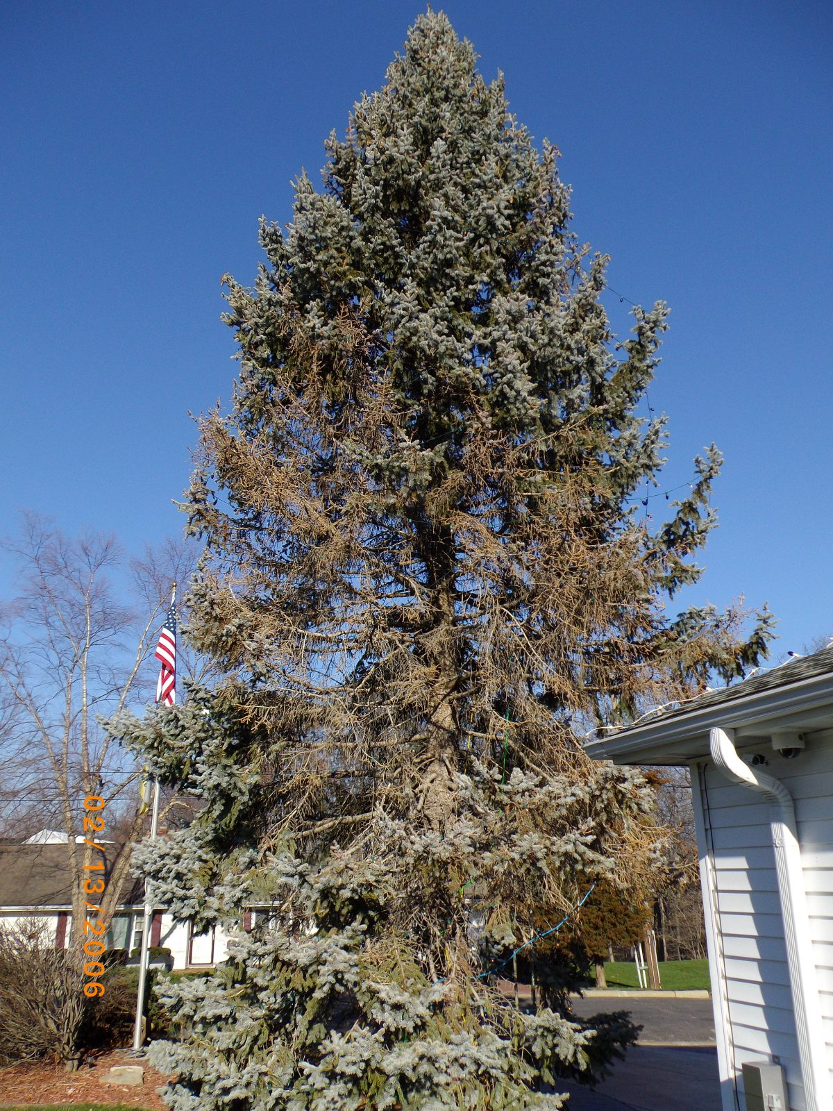 Fungal Infections Found On Spruce Trees Alive Tree Care